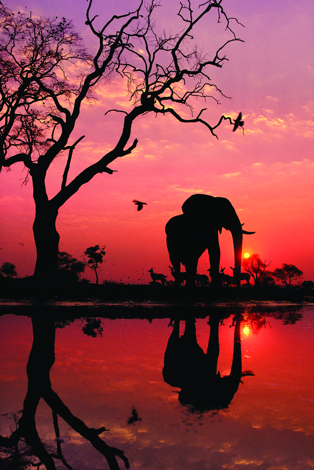 Una silueta del amanecer de un elefante salvaje y otros animales en Botswana, por el famoso fotógrafo Frans Lanting