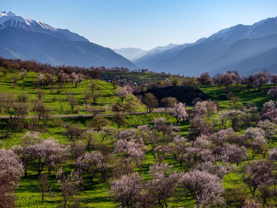 El florecimiento primaveral de los árboles frutales cerca de Ugam Chatkal