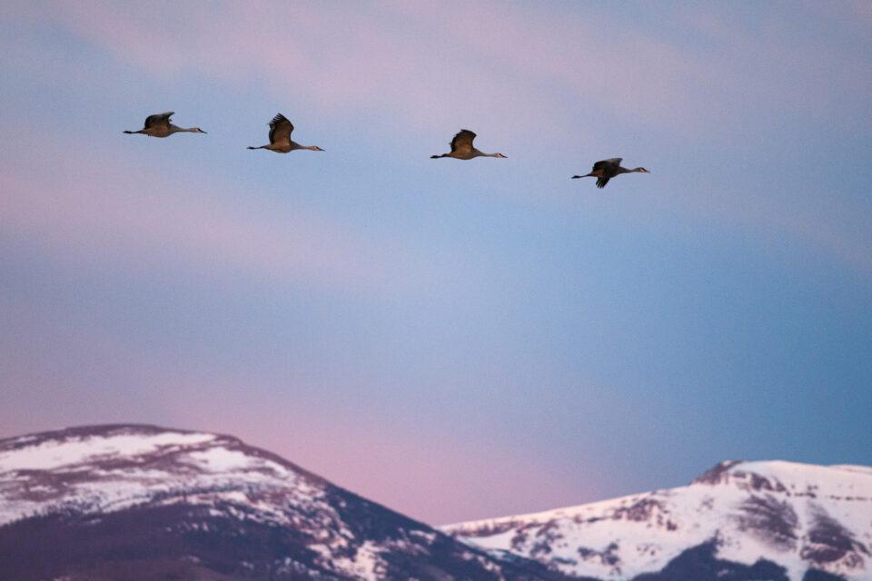Los animales tienden a migrar durante los meses de invierno. Si vives en un área cercana a la migración, puedes capturar algunas fotos sorprendentes de la vida silvestre.