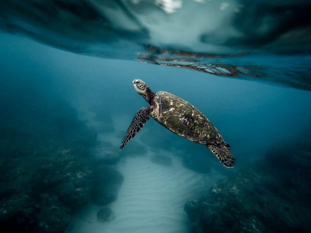 Una fotografía subacuática de una tortuga marina - una idea de fotografía encantadora