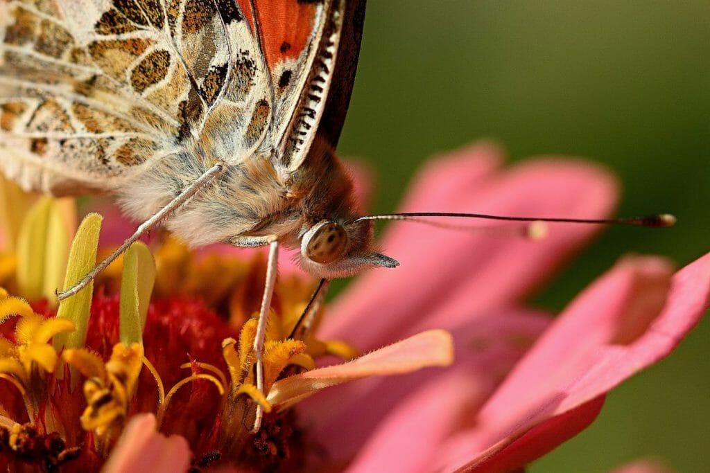Una macrofotografía de una mariposa sentada sobre una flor rosa - una gran idea de fotografía