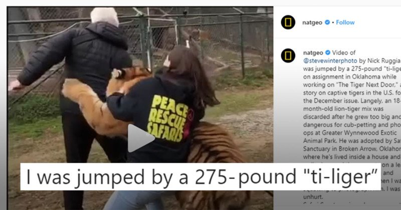 El fotógrafo de Nat Geo se lanza a la mezcla de 275 libras de Tigre y León