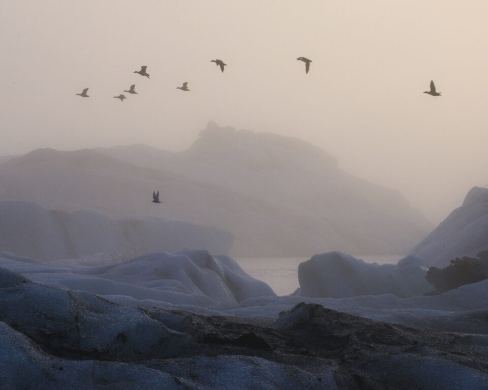 Aquí, los charranes árticos vuelan frente a los icebergs en la laguna Jokulsarlon de Islandia.