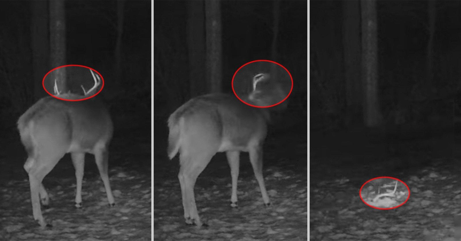 Una cámara de sendero captura imágenes raras de ciervos sacudiéndose de su cornamenta