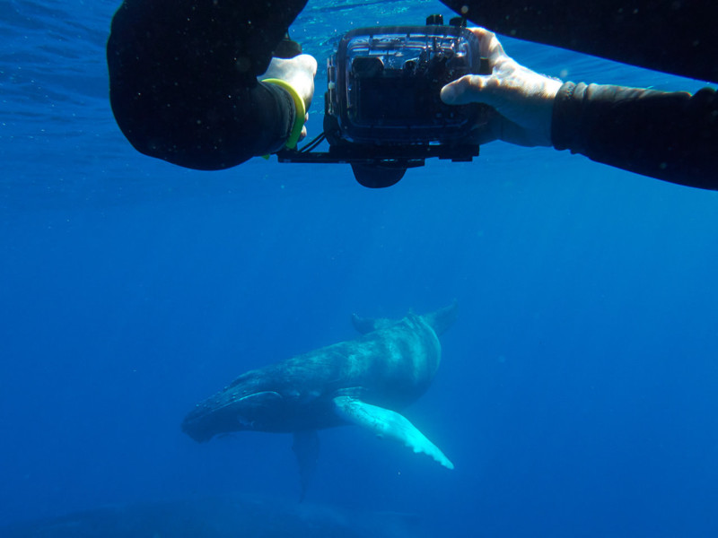 Superando el miedo a nadar con las ballenas jorobadas