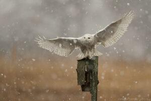 Búho nevado con tiro de aterrizaje para roedores
