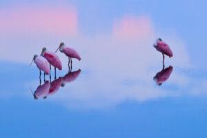 Espátulas rosadas al amanecer