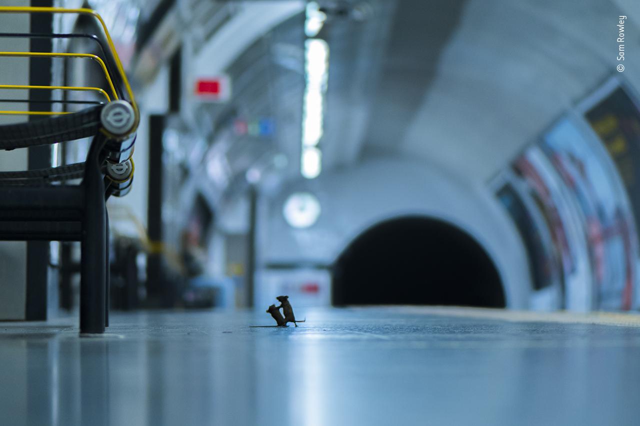 La pelea de ratones en el metro gana la elección de la gente como el fotógrafo de vida silvestre del año